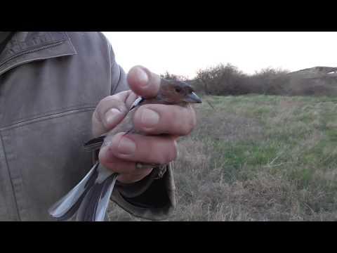 Ловля диких птиц паутинкой (Орнитологической сетью) // закрытие весеннего сезона