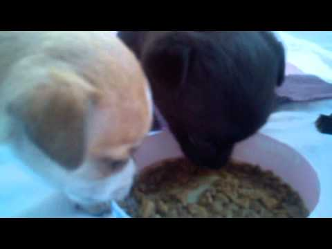 4week old chihuahua puppies first experience with food