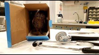 Ветеринарный осмотр совы сплюшки Ыть у доктора Марии Маркиной. Подробно о кормлении совы.