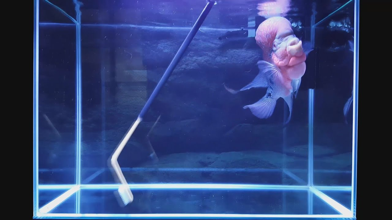 Flowerhorn Cichlid Bare Bottom Tank Cleaning with a DIY Brush