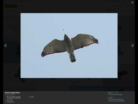 Broad-winged Hawk Identification Examples