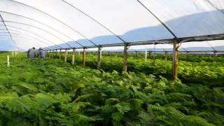 KHMER FARM IN FLORIDA # 2