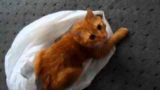 Прикол! Красивый рыжий кот Персик играет с пакетом. Joke! red cat plays with the package.