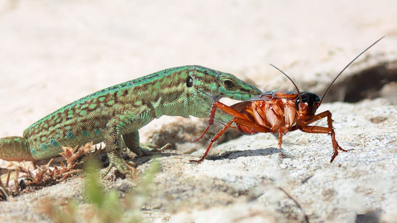 Top 5 Lizard Hunting Cockroach Phases - Animal Attacks