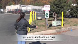 Dutch Shepherd Going Through Our Basic And Advanced Obedience Training: Northern Virginia