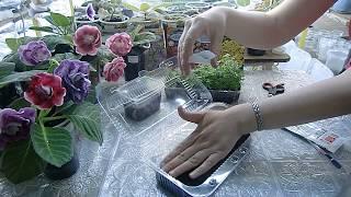 Посев семян Хризантемы с кипятком, результат .