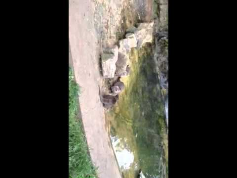 Otters Feeding Twycross Zoo 24.5.15