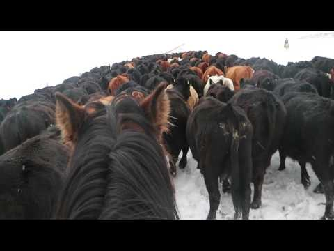 Herding cattle in the Canadian Rockies