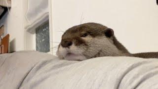カワウソさくら 理不尽なアゴ乗せをしてくる困ったカワウソ Otter sleeping with their chin on