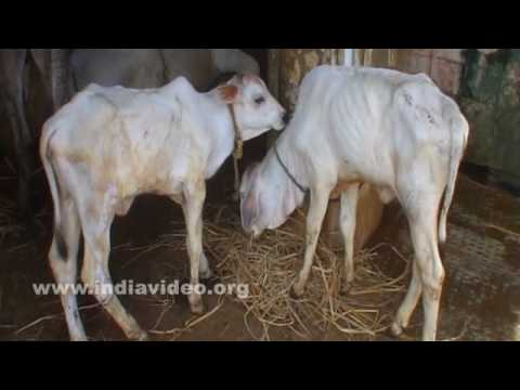 Gosala or Cow Shelter in Vijayawada
