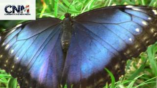 Big Blue Butterfly up Close in 1080P High Definition