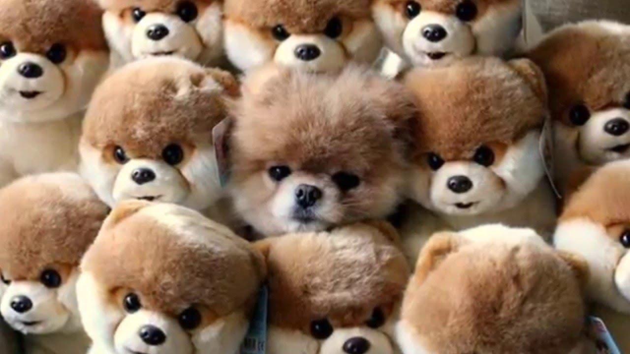 Resultado de imagen para perro boo cuanto cuesta