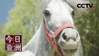 [今日亚洲]速览 娇小!世界最小 五岁公马身高仅56.7厘米| CCTV中文国际