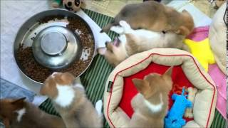 Corgi Connection Of Kansas Puppies