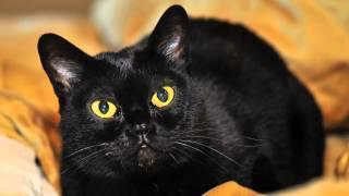 Бомбейская кошка показ слайдов 2015!