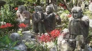 神奈川県大和市・常泉寺の彼岸花(ヒガンバナ)曼珠沙華 ブログはこちら...