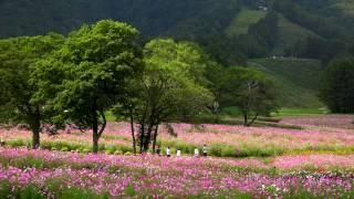 コスモスの花が咲く黒姫高原コスモス園・4K撮影