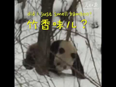 Astonished tourists bumped into a wild panda foraging in the snow-covered Qinling Mountains in China