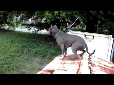 Thumbnail: Best ultimate pit bull protection guard dog attack trained family pitbull k9 Achilles
