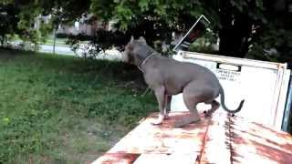 Best ultimate pit bull protection guard dog attack trained family pitbull k9 Achilles Resimi