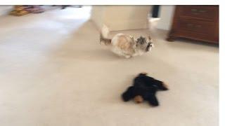 Shih Tzu Dog Lacey Is Making Me Dizzy!