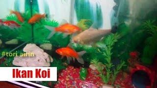 Ikan Koi - Memelihara Ikan Hias Di Aquarium Bersama Anak Kecil Lucu Airin