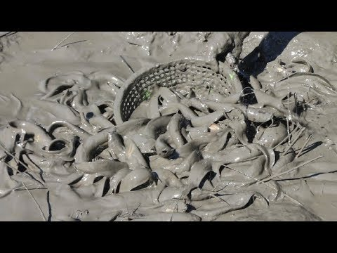 Catfish Catching from fish-hole by hand  amazing  muddy water  fishing