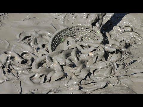 Catfish Catching from fish-hole by hand  amazing  muddy water  fishing thumbnail