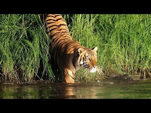 Man Eating Tigers of The Sundarbans (NatureDocumentary)