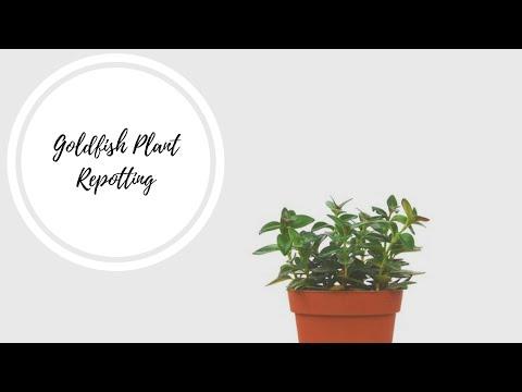 Repotting Goldfish Houseplant | How To Repot A Goldfish Plant