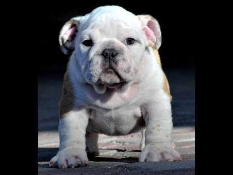 Mauiexpo's Dexter (male) English bulldog puppies for sale!