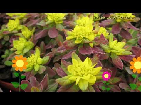 Молочай многоцветковый Бонфайр. Краткий обзор, описание характеристик euphorbia polychroma Bonfire