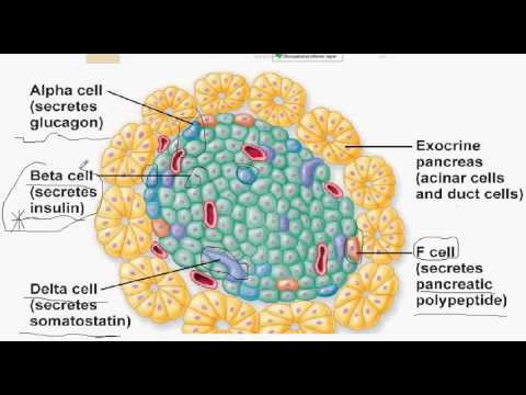 pancreas 5 endocrine of the pancreas , endocrine hormones - YouTube