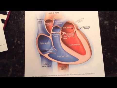 The Four Chambers of the Heart- Anatomy Video