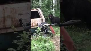 Ведмідь в Бодайбинском районі
