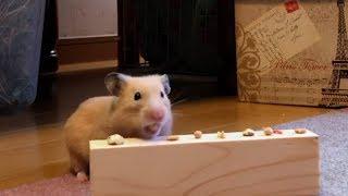 ハムスター 早食い選手権 [Cute Hamster speed eating championship!]