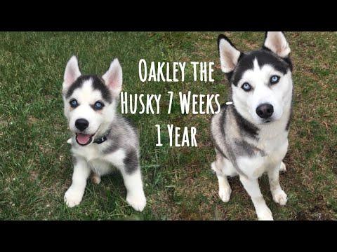 Husky puppy (Oakley) growing up 7 weeks - 1 year