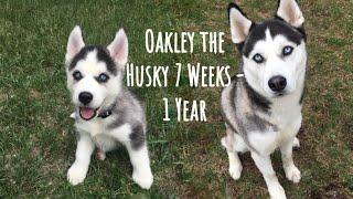 Husky puppy (Oakley) growing up 7 weeks  1 year