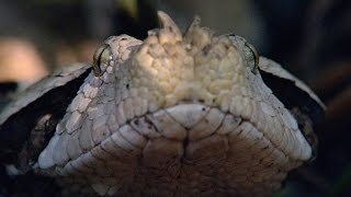 Incredible: A Gaboon Viper Strikes a Bird in Slo-Mo
