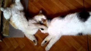 Страстый поцелуй кошек