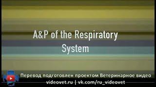 Анатомия и физиология дыхательной системы домашних животных (русские субтитры)