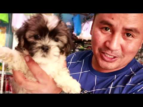 BUYING 4 ADORABLE Cute SHIH TZU Puppies