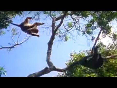Ugandan chimps hunting   Life of Mammals   BBC