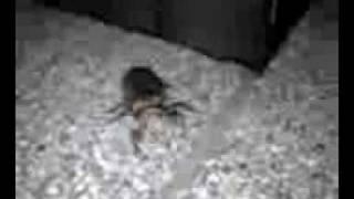 脱皮場所を探してうろうろしているセミの幼虫を発見!!