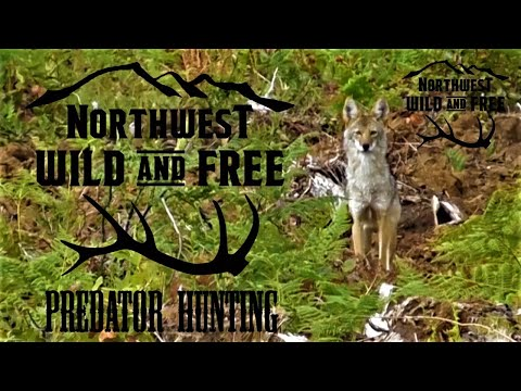 Coyote Hunting In The Great Northwest