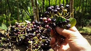 Wild Grapes - දං  🍇