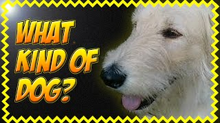 Amazing Funny Animal Videos For Children Of The World. Golden Retriever Poodle Mix Ally. Set58 2014