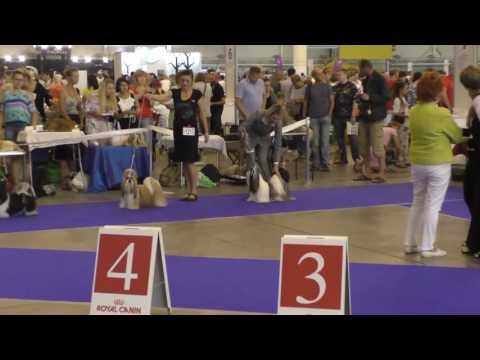 IDS Kiev 04 09 16 shih-tzu, Best of Breed competition