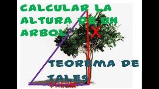 COMO CALCULAR  LA ALTURA DE UN ARBOL CON SU SOMBRA/(TEOREMA DE TALES/TRIÁNGULOS SEMEJANTES )