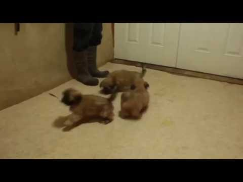 Lhasa Apso Puppies For Sale